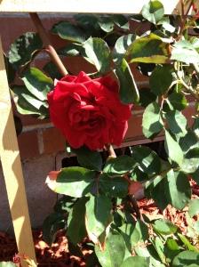 Blaze Rose Bush