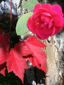 Red Rose-Red Maple