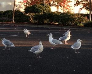 Gulls Gathering