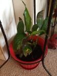 Peace Plant