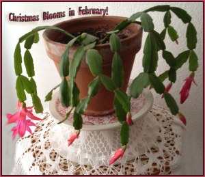 Christmas Cactus blooming in February