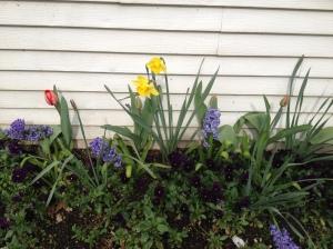 Spring Flowers Arising--Daffodils, Tulips, Hyacinth