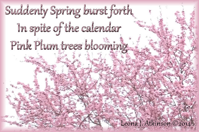 Pink flowering trees-Haiku