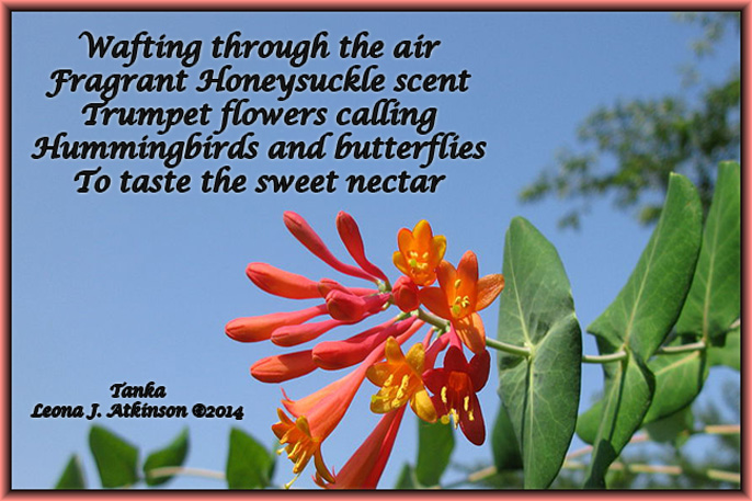 Honeysuckle Vine--Tanka poem