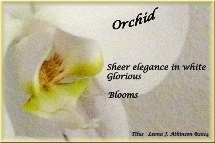 White Orchid--Tilus poem