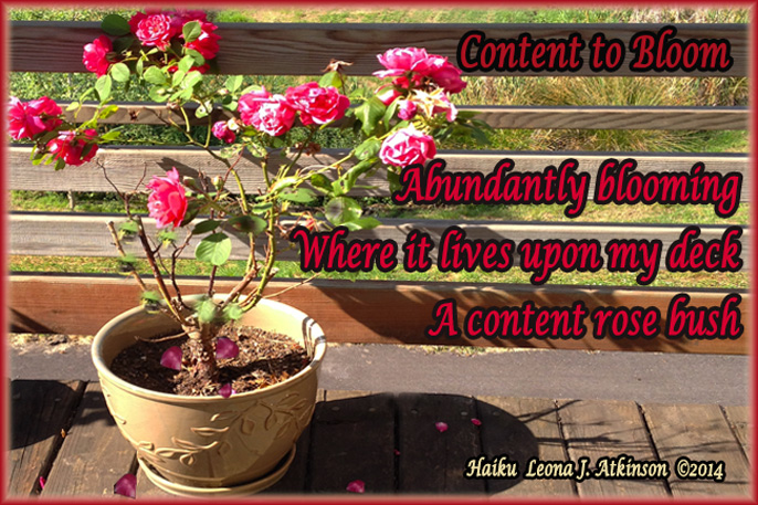 Rose Bush in bloom--Haiku