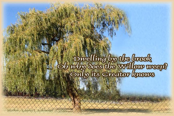 Weeping Willow Tree--Haiku