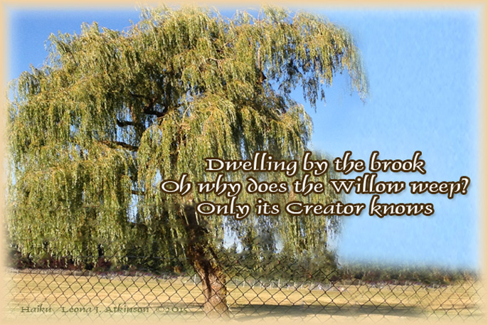 Weeping Willow Tree--Haiku
