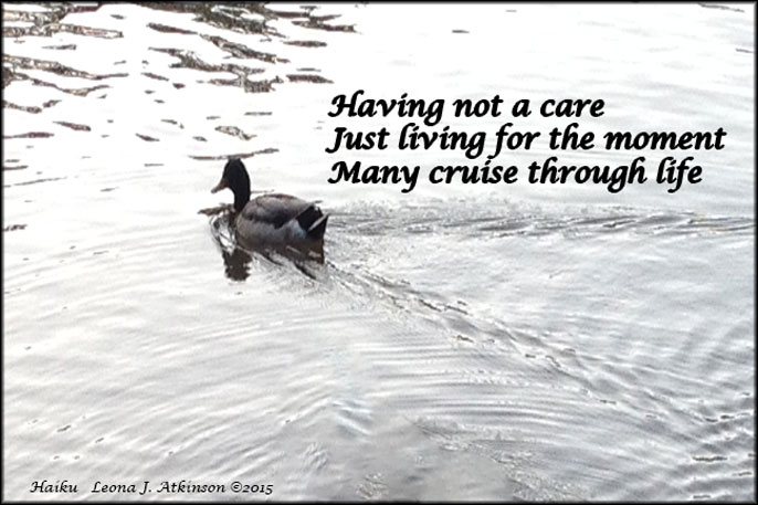 Duck cruising in a pond--HaIKU poetry