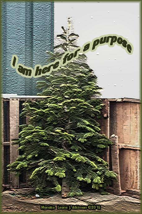 Evergreen Tree, purpose, Monoku poem