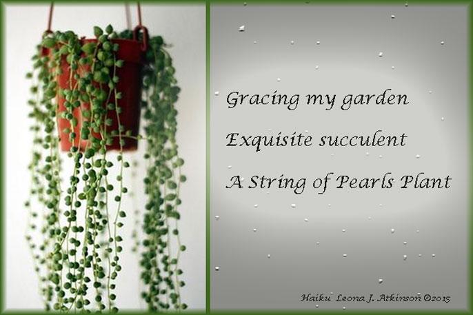 String of Pearls Plant--Haiku