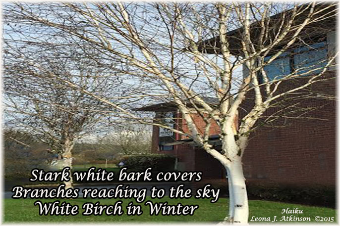 White Birch  Haiku
