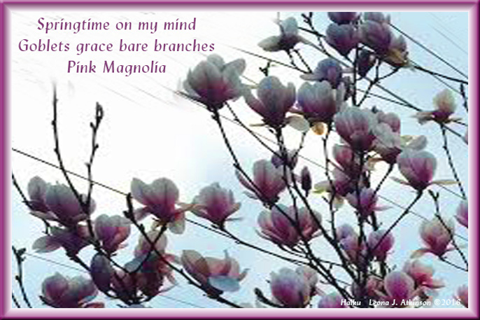 Magnolia Tree--Springtime--Haiku