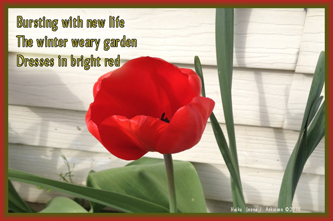 Tulip Time  Haiku