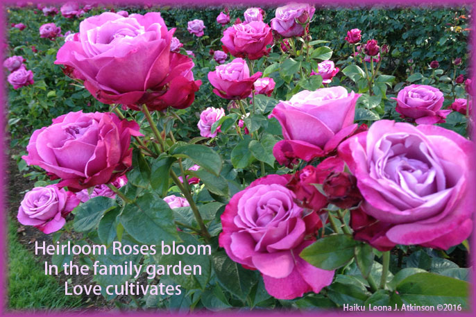 Heirloom Roses-Haiku