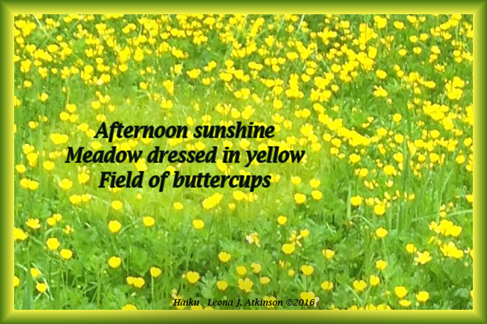 Haiku--Buttercups in field