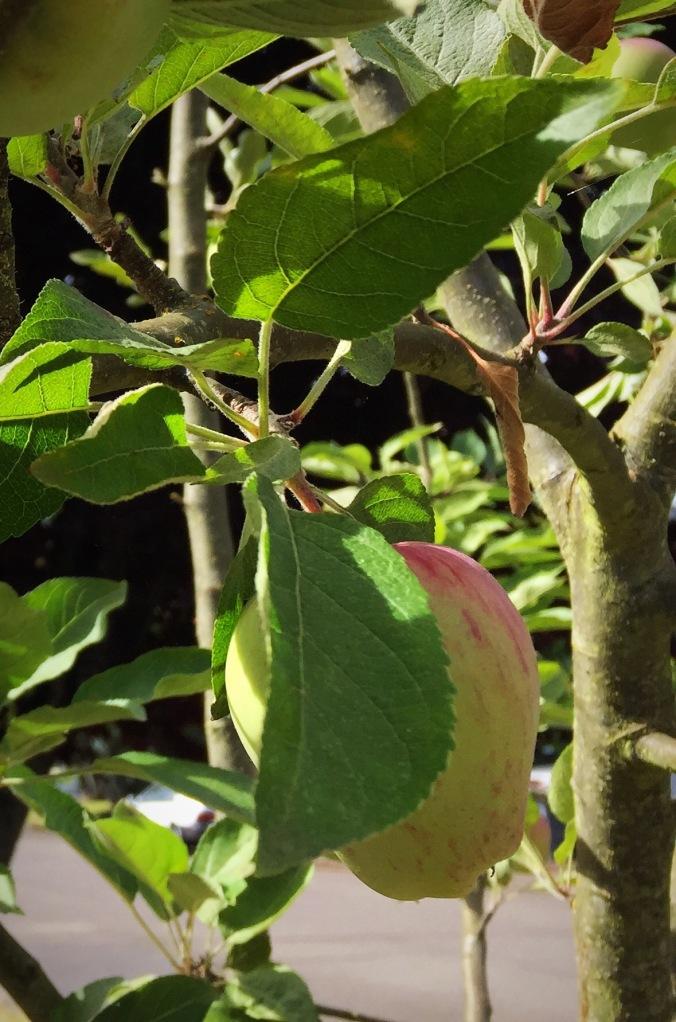 Apple tree fruit