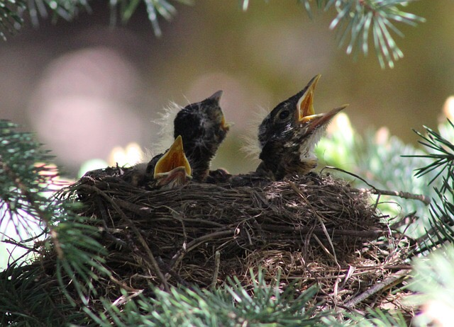 chirping baby birds in the nest