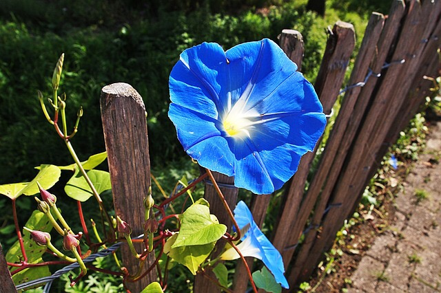 blue flower  in the fence