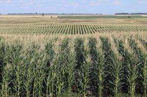 Rows of corn fields