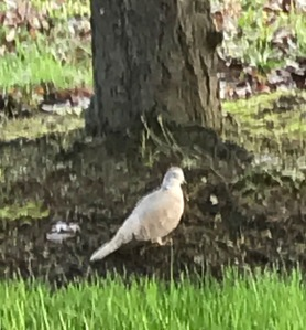 Collared Dove by a tree
