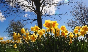 Daffodil Day, sunshine, daffodils in bloom
