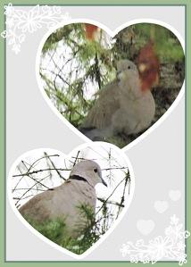 Doves in Pine Trees
