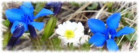 White flower between two blue flowers