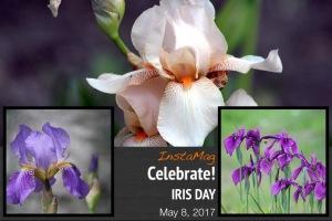 Iris Day, May 8