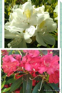 Red and white Rhododendrons