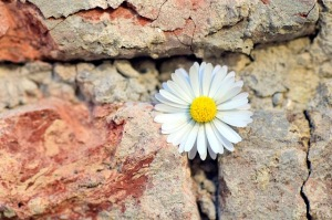 Daisy in a stone wall