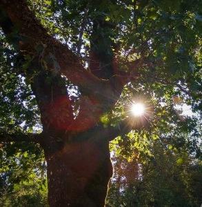 Tree with sun shine thru it