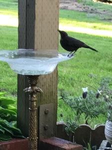 Bird at Birdbath
