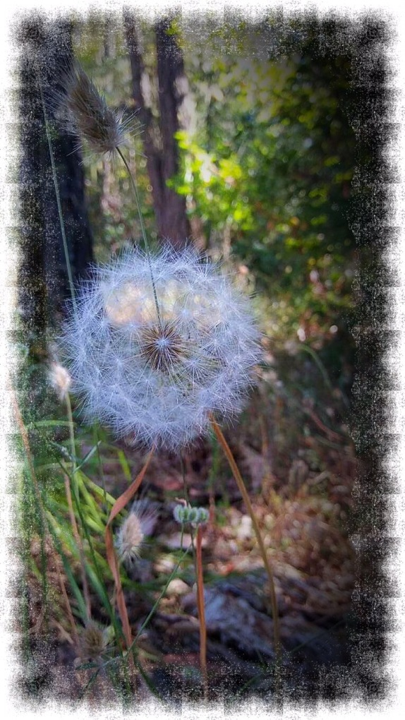 Dandelion Puff in Forest