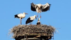 Mama bird teaching baby birds how to fly