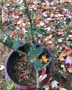 Rose bush in the Fall