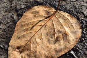 Brown Leaf in Fall