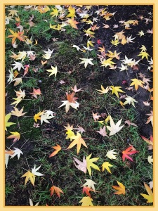 Yellow Fall Leaves scattered on the lawn