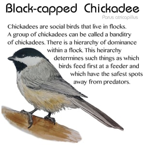 Black Capped Chickadee picture and facts