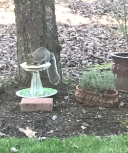 Squirrel in bird feeder eating seeds