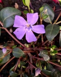 Vinca Vine blossom