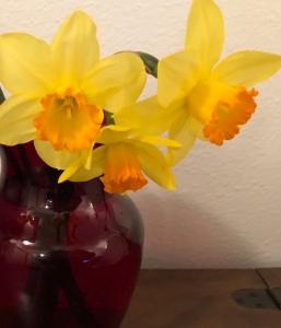 Daffodils in red vase