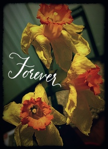 Fading Daffodil Flowers