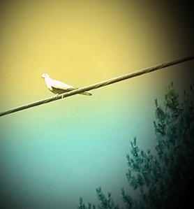 Dove on a high wire
