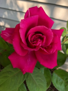 Red Rose, first rose of the season