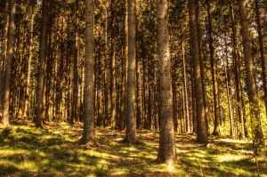 Fir trees in a forest with sunlight