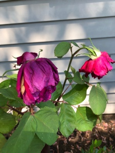 Drooping Roses