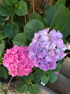 Pink and Lavender Hydrangea blooms