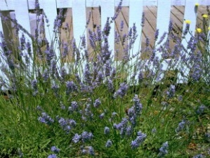 White picket fence, lavender plants in bloom