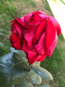 Fading red rose